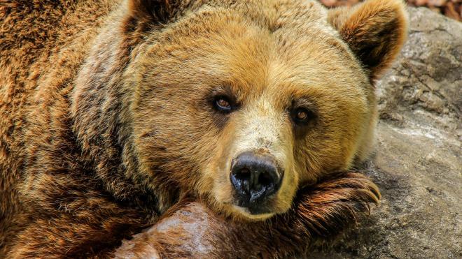 Под Екатеринбургом автомобиль насмерть сбил медведя