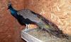 В Шувалово петербуржцы ищут пугливого павлина