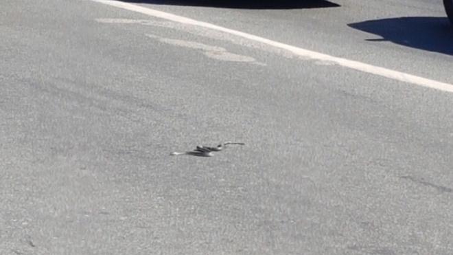 На Богатырском проспекте петербуржцы заметили змею