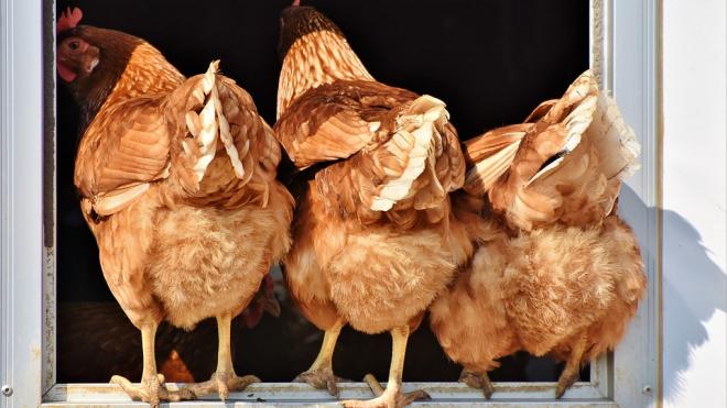 В Петербурге задержали на экспорт во Вьетнам 81 тонну куриных ног