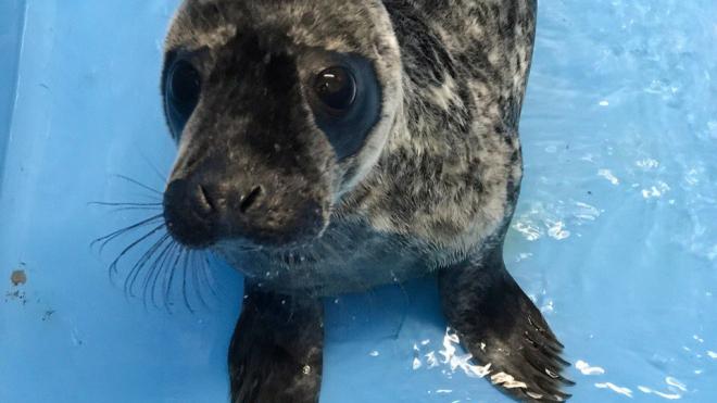 Хорошие новости: тюлененок Гоглик пошел на поправку