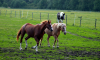 В петербургском цирке пополнение: из Туркменистана прибыли лошади