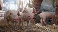 Свиньи Выборгского района будут под жестким контролем