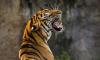 Тигр убил охотника под Хабаровском