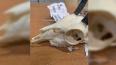 В Пулково задержали прилетевшие из Намибии охотничьи ...