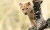 Интеллигентный лев гулял по газонам Купчино