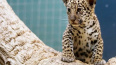 В Санкт-Петербурге пытались продать котенка ягуара ...