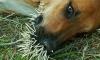 Одичавшая бойцовая собака больше месяца заперта в пустой машине в Петербурге