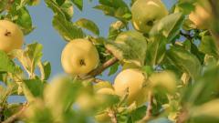 Россельхознадзор разрешил еще 28 предприятиям Азербайджана ввоз яблок в РФ