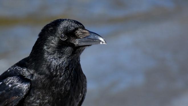 Петербуржцев призвали не кормить ворон и голубей