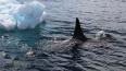 """Четырнадцать белух из """"китовой тюрьмы"""" выпустили в Охотс..."""