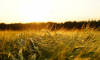 Гидрометцентр спрогнозировал падение объемов урожая зерновых в России