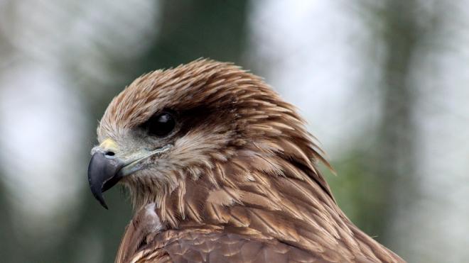 Хищные птицы спасают Приморский район от нападения чаек и крыс