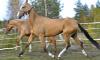 В Подмосковье выкрали четырех лошадей элитной породы за 4 млн рублей
