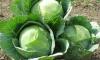 Россельхознадзор хочет запретить капусту из Польши
