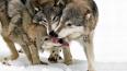В Красноярском крае выясняют, кто загрыз ребенка – волки...