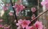 В саду на Аптекарском острове зацвела первая сакура