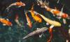 Из Петербурга в Якутию улетело 300 золотых рыбок, сомов и цихлид
