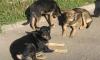 Под Петербургом бродячая собака искусала полицейского