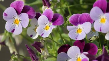 В Таврическом саду садовники высаживают виолу