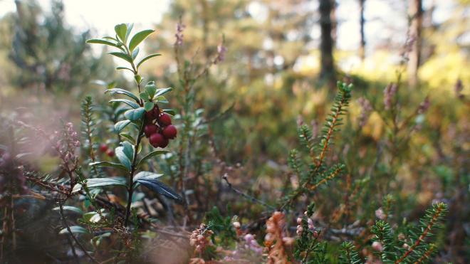 В Томской области мужчина заблудился тайге и неделю питался ягодами