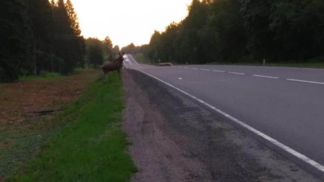 Водителей предупредили о лосе, гуляющем по Киевскому шоссе