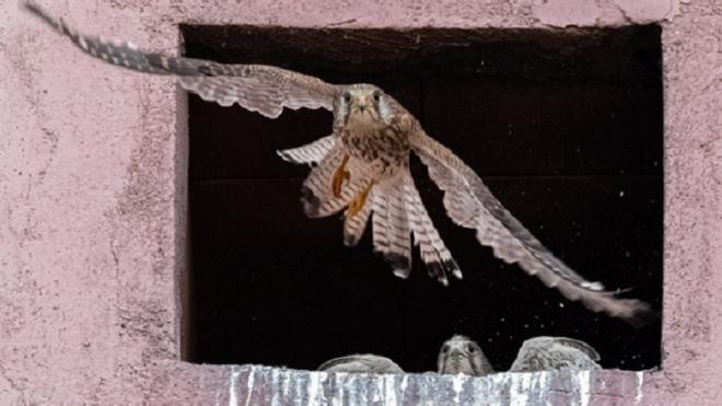 В Приморском районе Петербурга заметили краснокнижную птицу из семейства соколиных