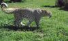 Шесть видов животных находятся под угрозой исчезновения в России