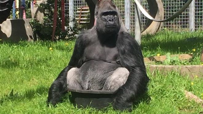 Знавшая язык жестов горилла Коко скончалась в Калифорнии