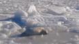 На льду Финского залива рыбаки сфотографировали малыша ...