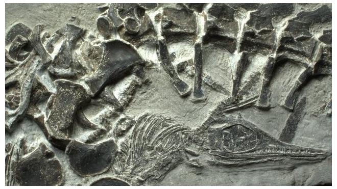 Китайцы нашли останки самки ихтиозавра, умершей во время родов