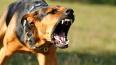 Во Владивостоке собаки загрызли насмерть сторожа