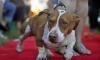 В Калифорнии выбрана самая уродливая собака в мире