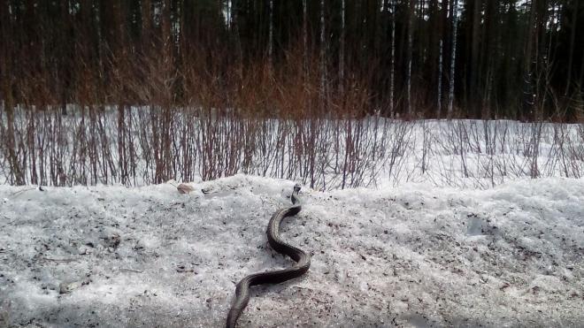 На дорогах Ленобласти можно увидеть змей