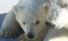 В Ленинградский зоопарк из Якутии переедет внучка белой медведицы Услады
