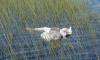 В деревне Ленобласти неизвестные застрелили пару лебедей