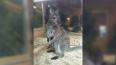 Самка кенгуру Хлоя из Ленинградского зоопарка стала ...