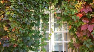 В Петербурге появятся больше вьющихся растений на стенах