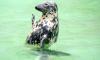Найденный в Репино нерпенок не смог адаптироваться в естественной среде обитания