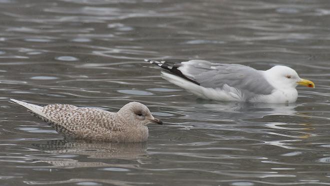 В Ленобласть прилетела редчайшая для России полярная чайка