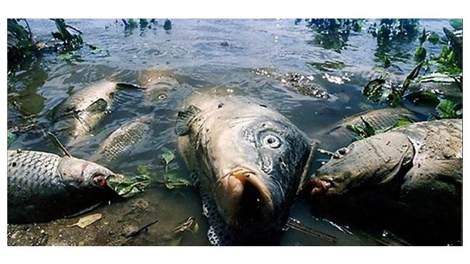 В Неве в большом количестве всплыла дохлая рыба