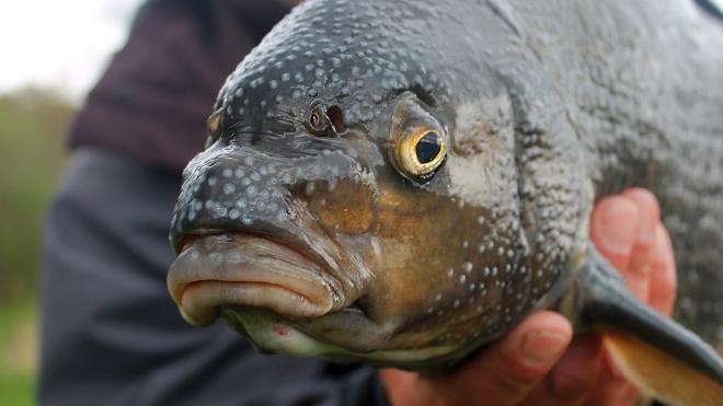 Небо дало леща: Двухкилограммовая рыба пробила крышу дачи в Финляндии