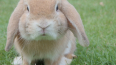 Заводчики кроликов в Волосовском районе устроили антисан...