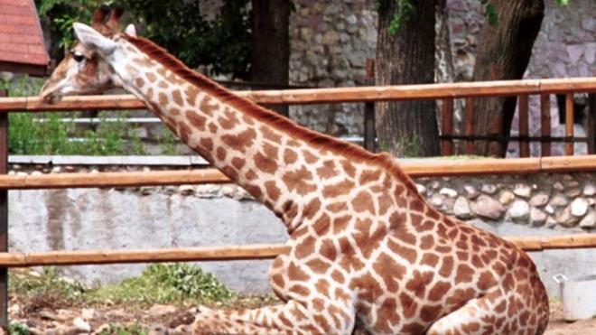 В Московском зоопарке рухнул помост для жирафов, пострадали дети и взрослые