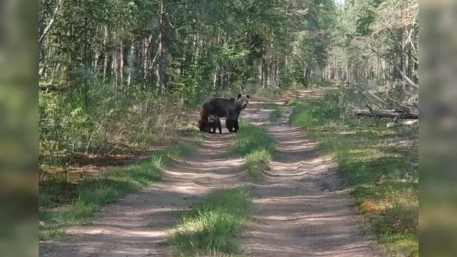 Медведица переводила медвежат через дорогу в Нижне-Свирском заповеднике