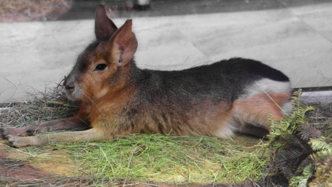 Ленинградский зоопарк приглашает петербуржцев посмотреть на годовалую самочку мары