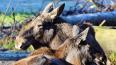 В Лодейнопольском районе браконьеры убили двух лосей, ...