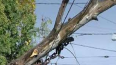 Ураганный ветер валит деревья в Санкт-Петербурге