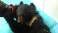 Медвежонка, над которым издевались в Туве, приютили ...