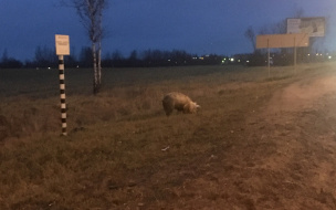 Во Всеволожском района на трассе заметили свинью